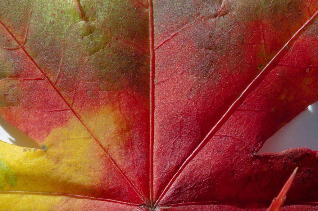 feuille colorée de l'érable du japon