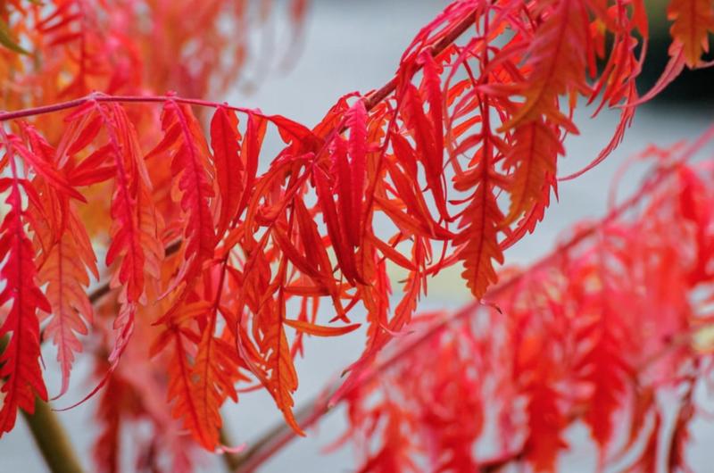 érable du japon rouge variété dissectum