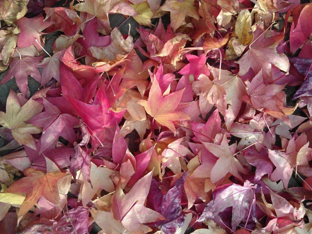 feuilles sèches au sol de l'érable du japon qui perd ses feuilles à l'automne
