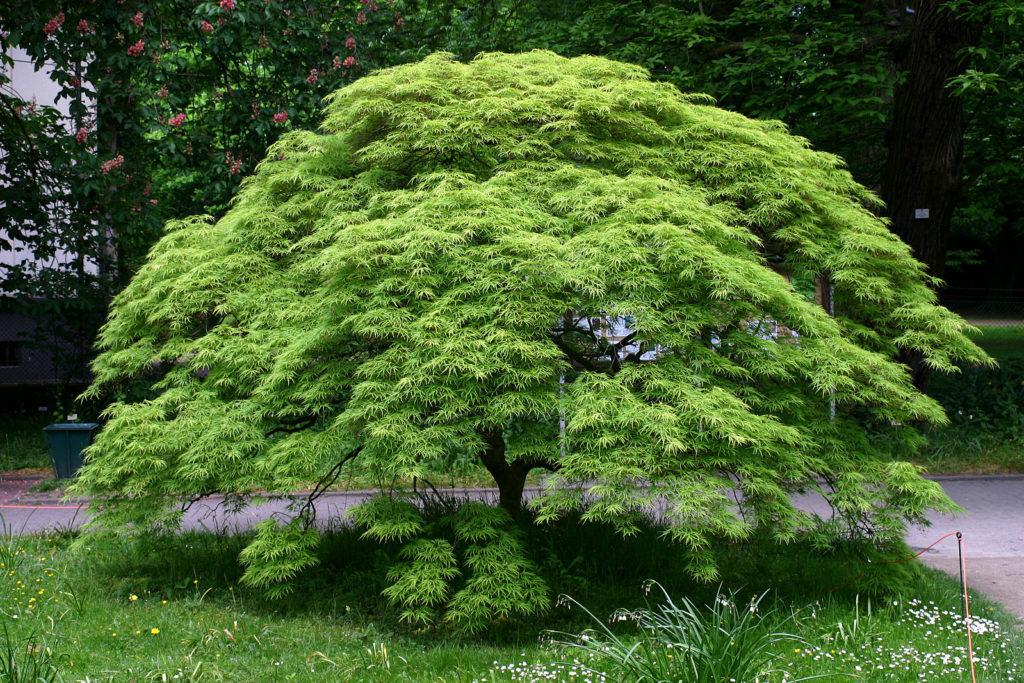Acer palmatum dissectum au feuillage découpé fin et vert et à la forme retombante
