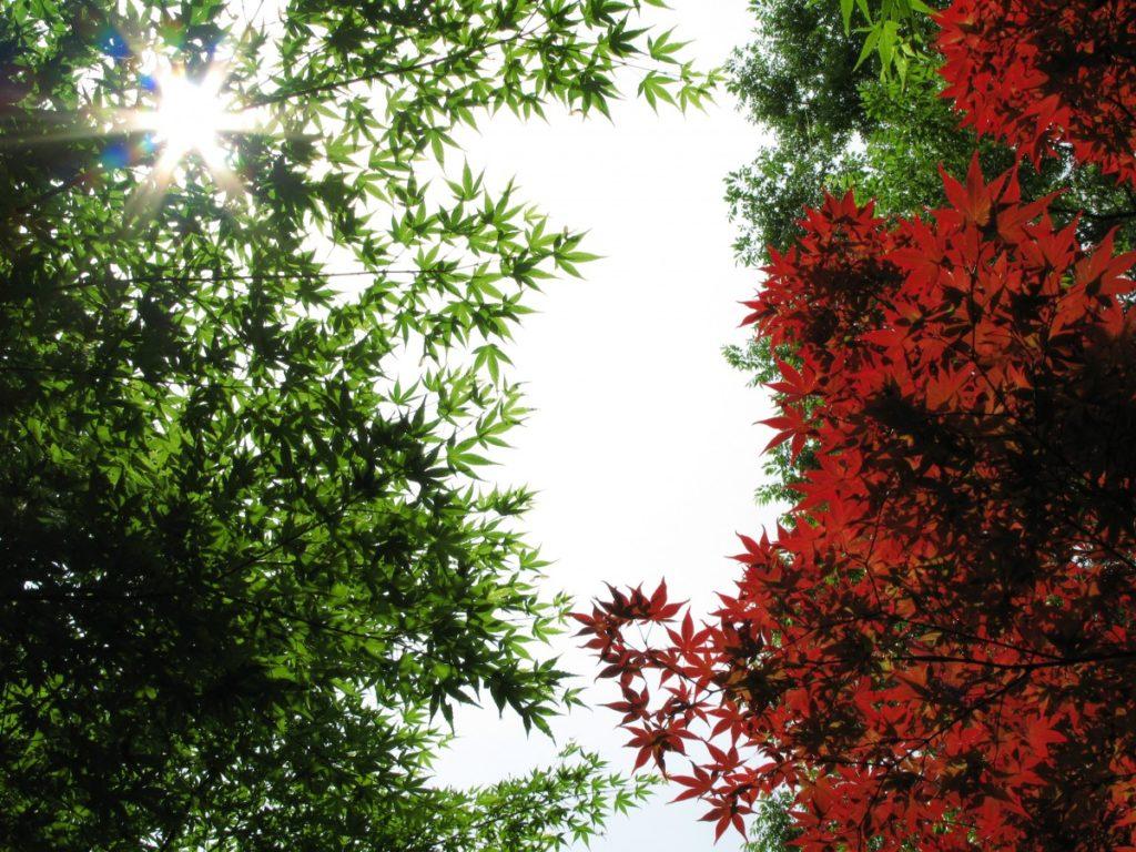 feuillage vert et rouge d'érables du japon