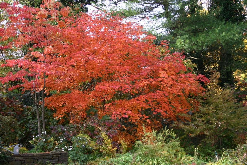 feuillage flamboyant rouge orangé de l'érable du japon