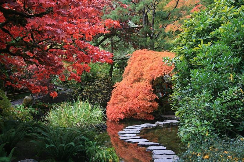 acer dissected orange dans un jardin japonais, forme pleureur
