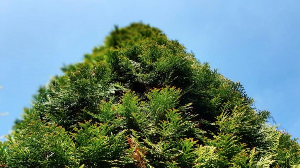 feuillage bien vert uniforme du thuya