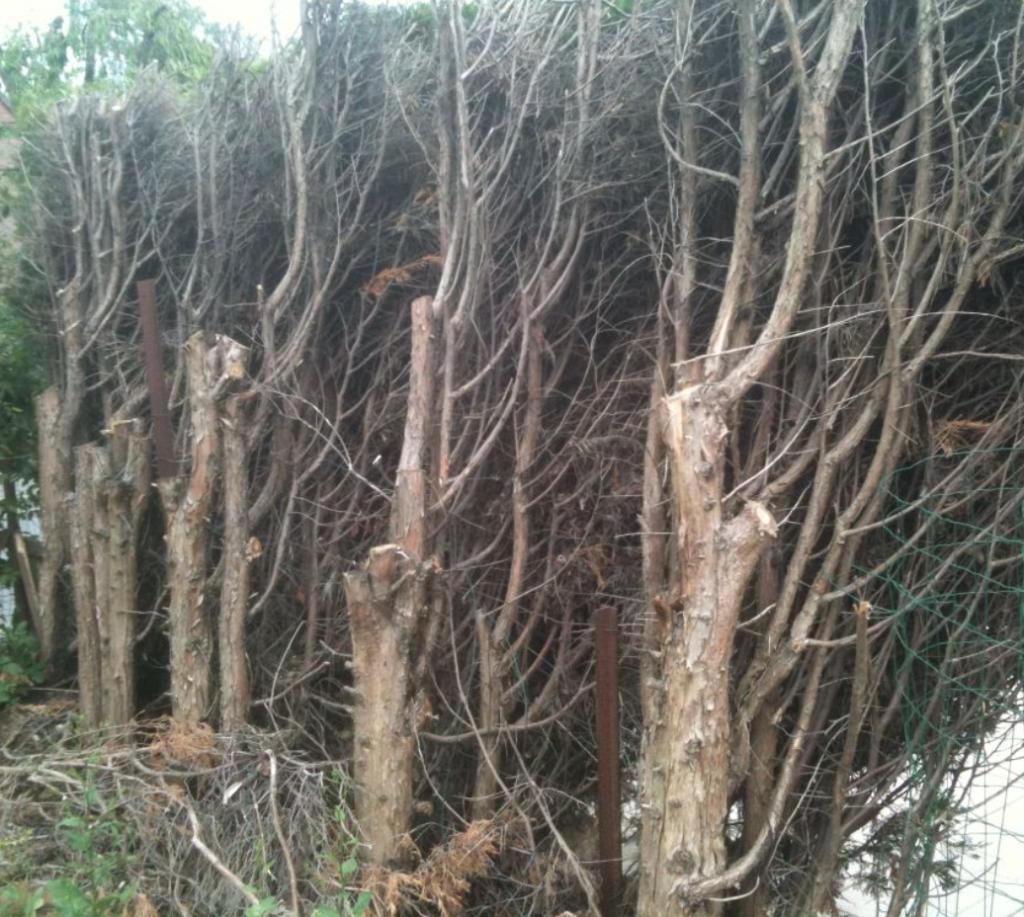 thuyas taillés sévère sur le bois sec qui ne vont pas repousser