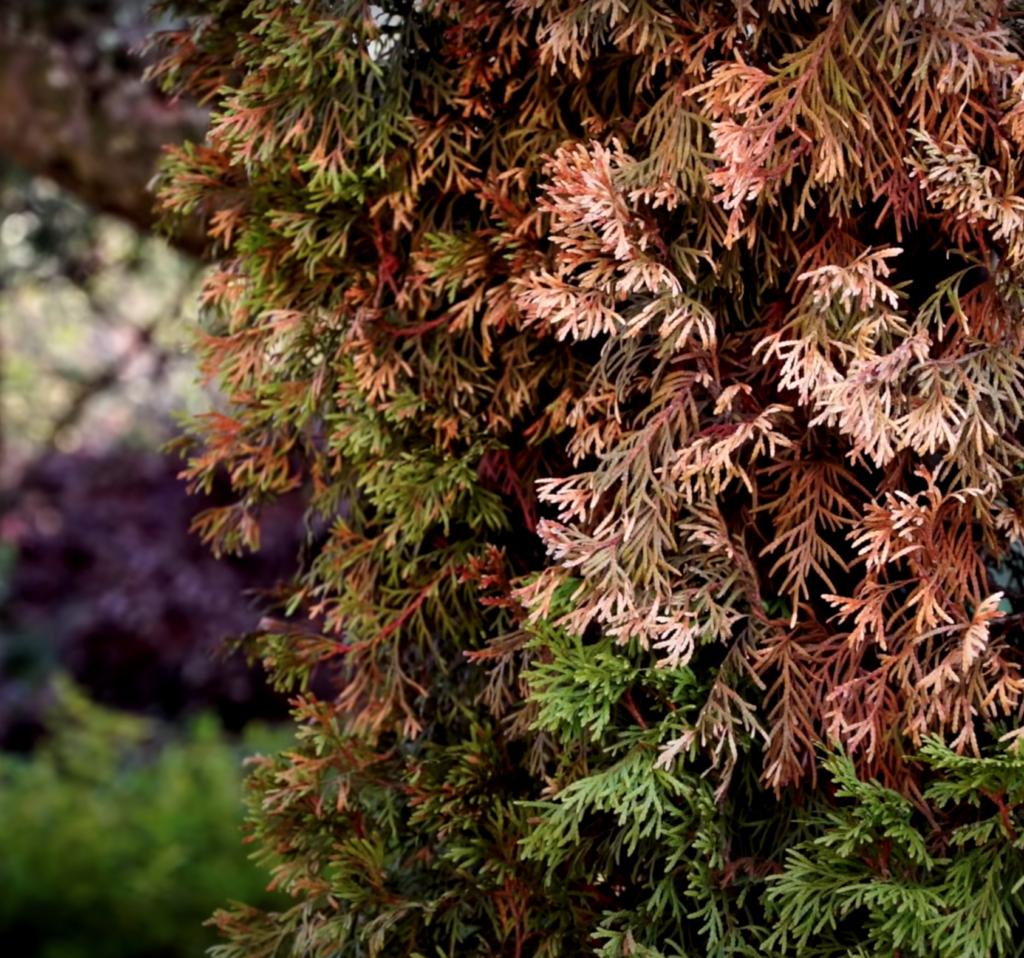 feuillage cramé et sec couleur marron d'un thuya malade