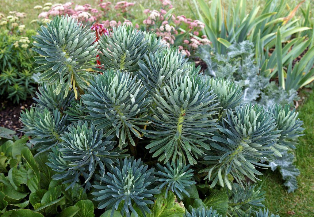 plante persistante à faible développement pour massif