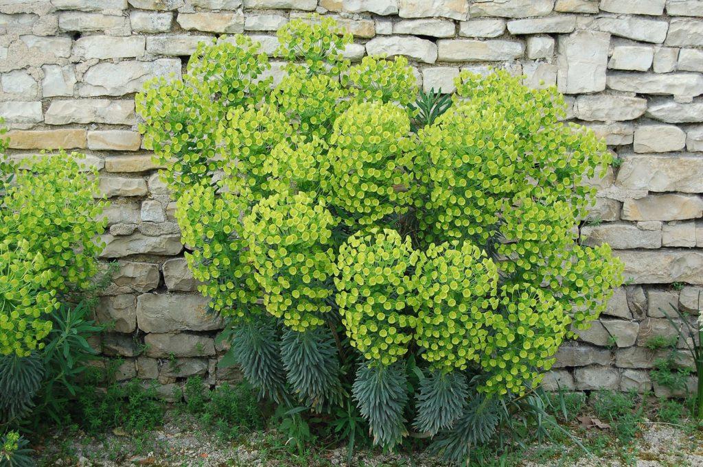 plante persistante fleurie lumineuse