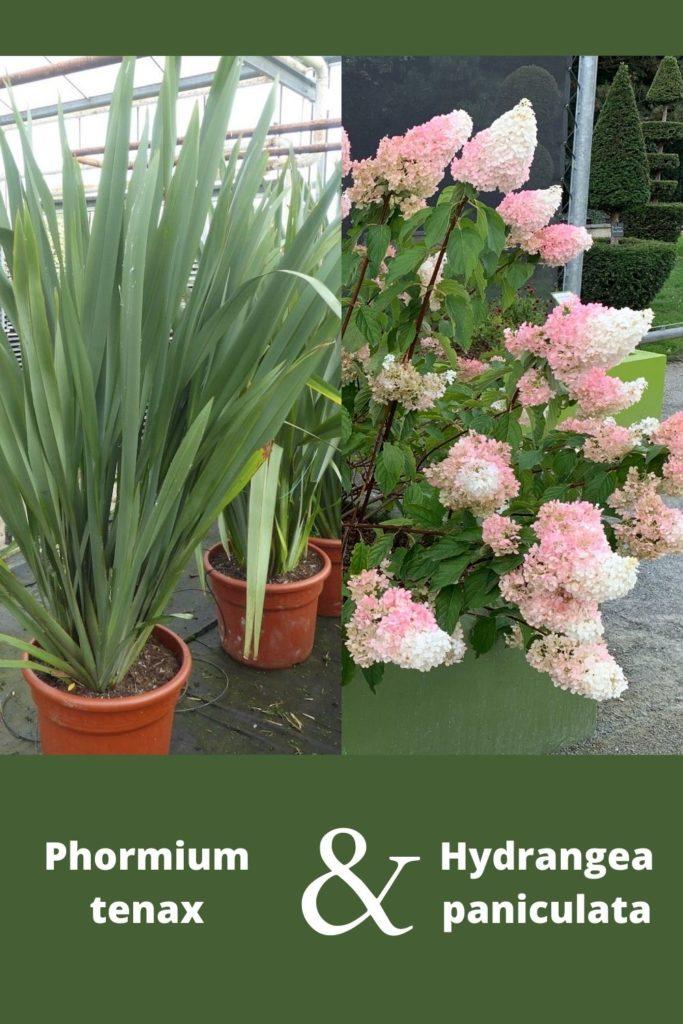 phormium et hortensia paniculata rose