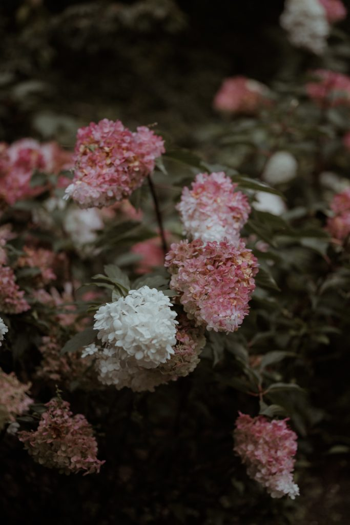 plante à fleurs roses