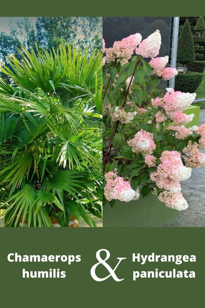 hydrangea paniculata et palmier