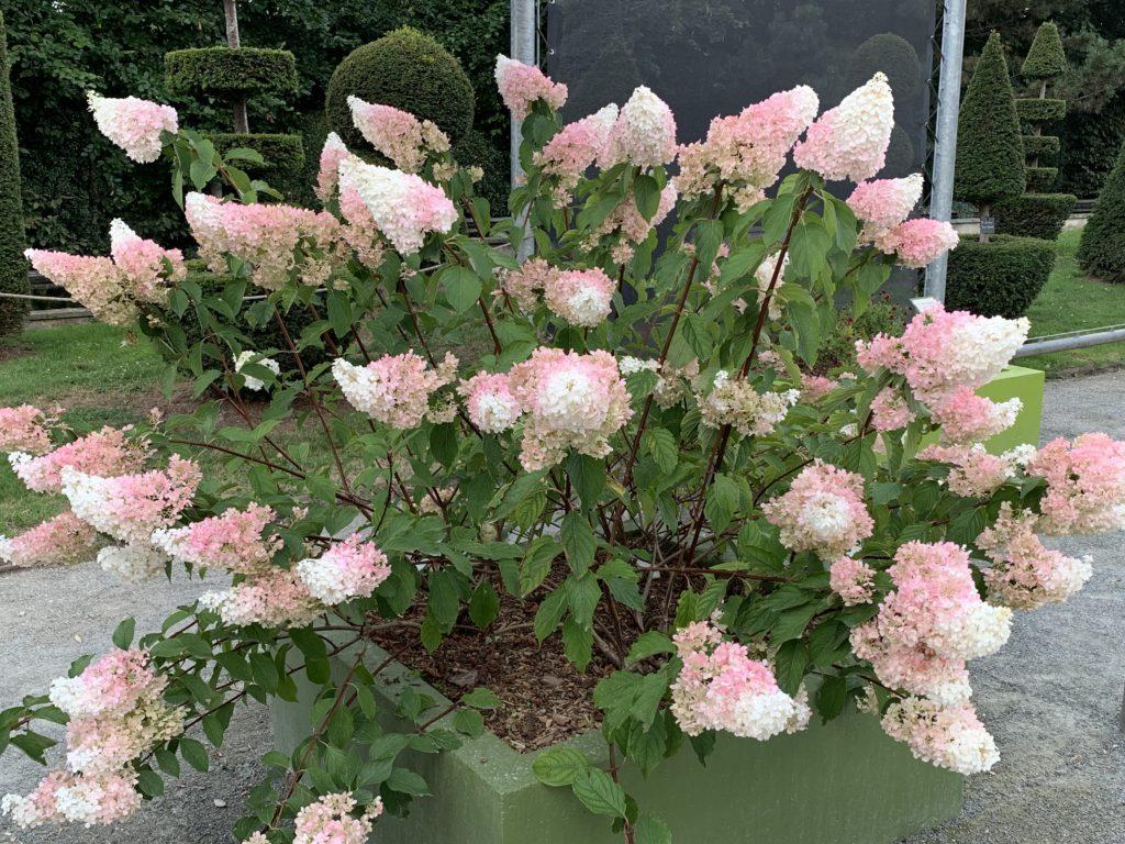 arbuste fleurs roses en pot