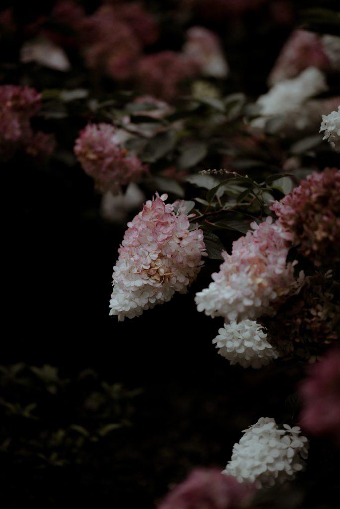 floraison rose de l'hortensia paniculata