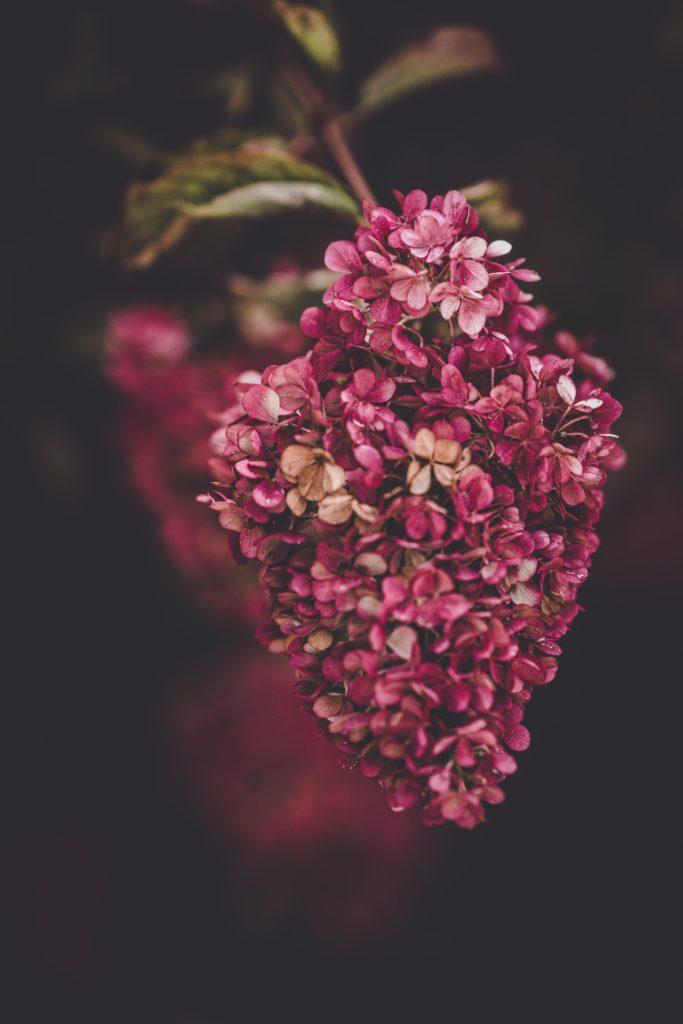 fleur rose puis rouge en automne du paniculata