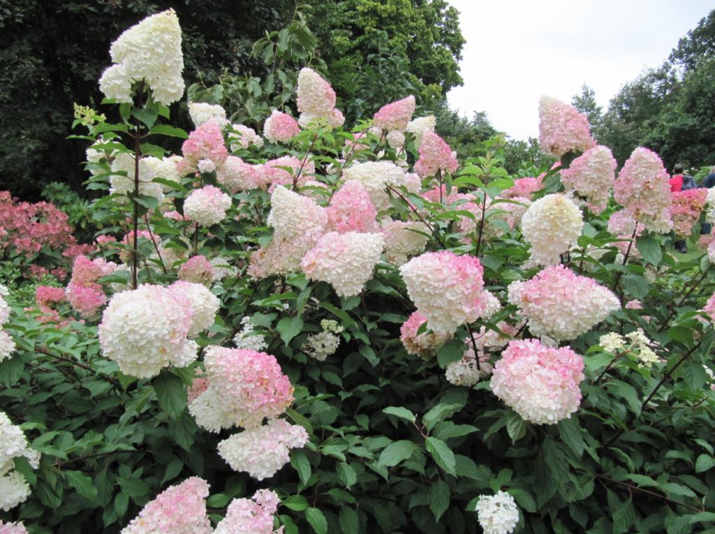 arbuste à fleurs roses pour haie variée