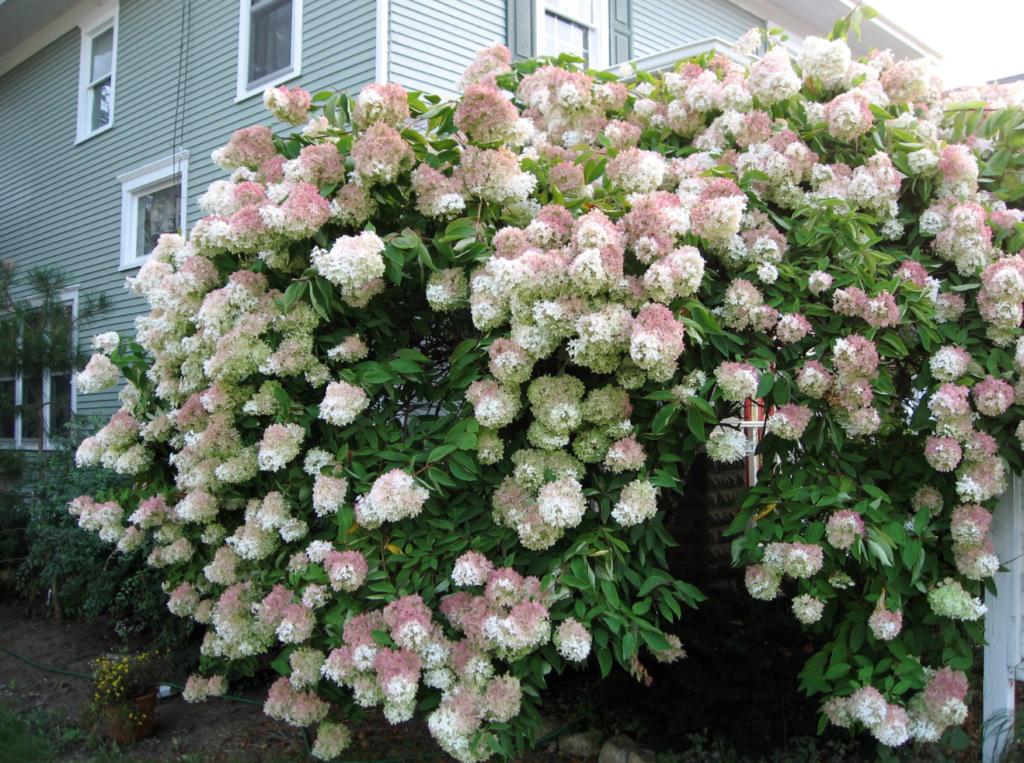 arbuste fleurs roses sol calcaire