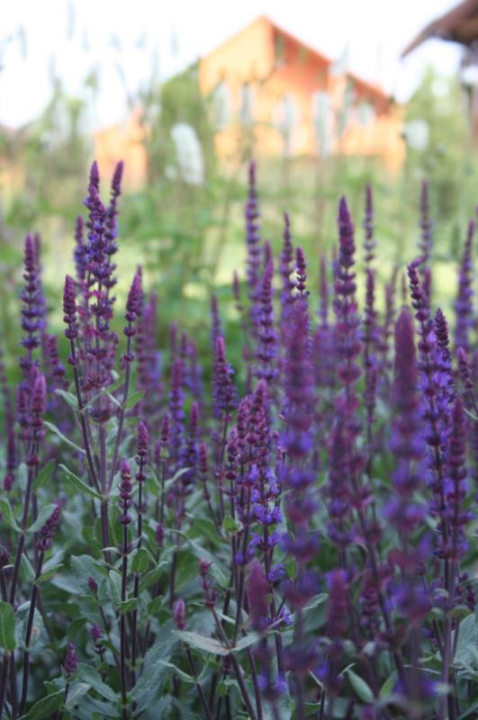 plante vivace aromatique