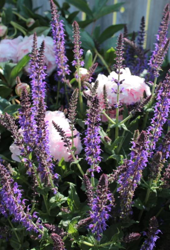 plante vivace longue floraison