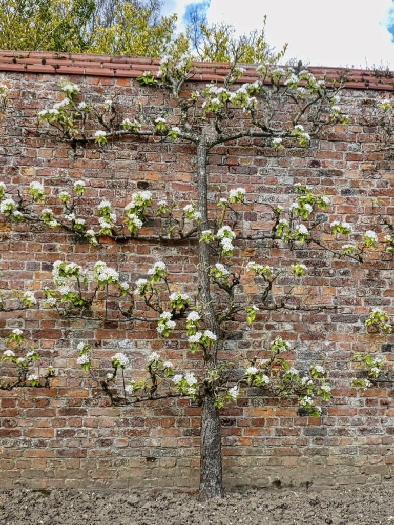 fruitier en fleurs