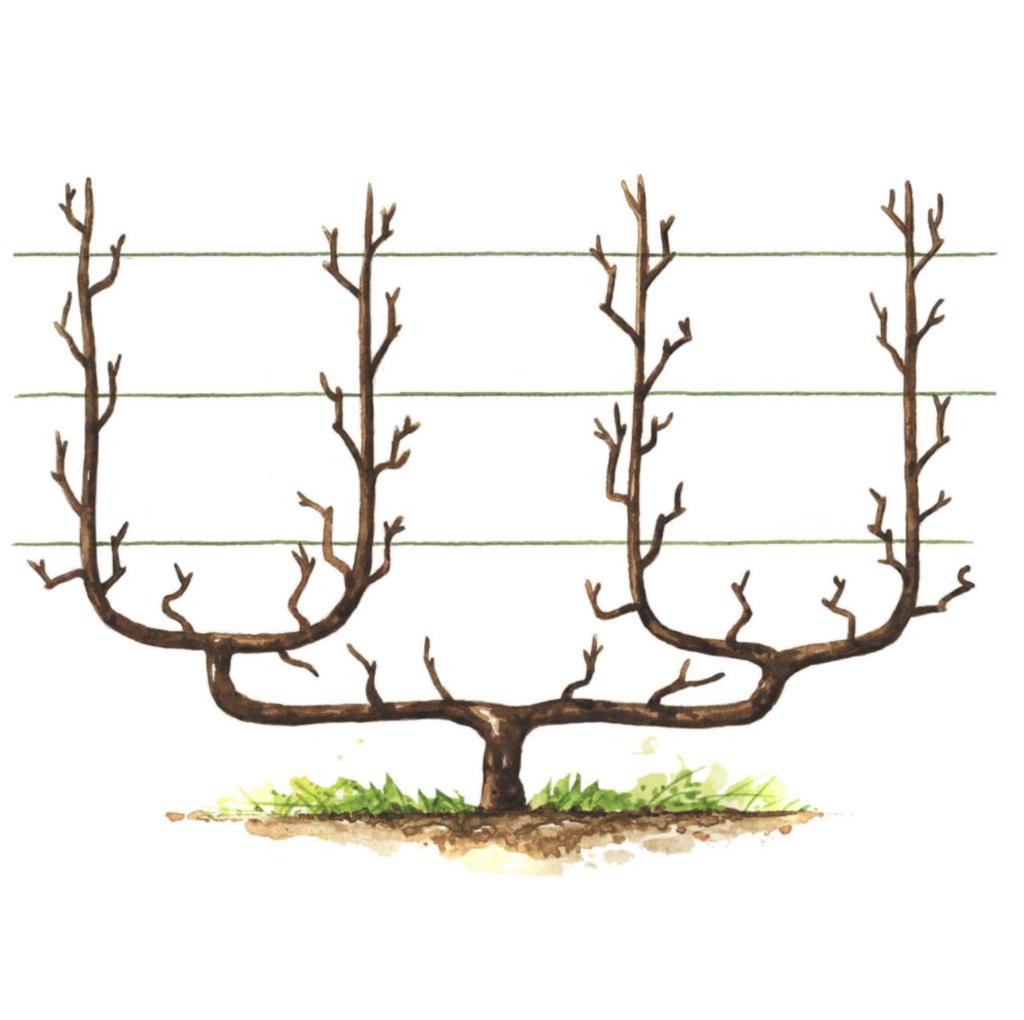 petit arbre fruitier en hiver