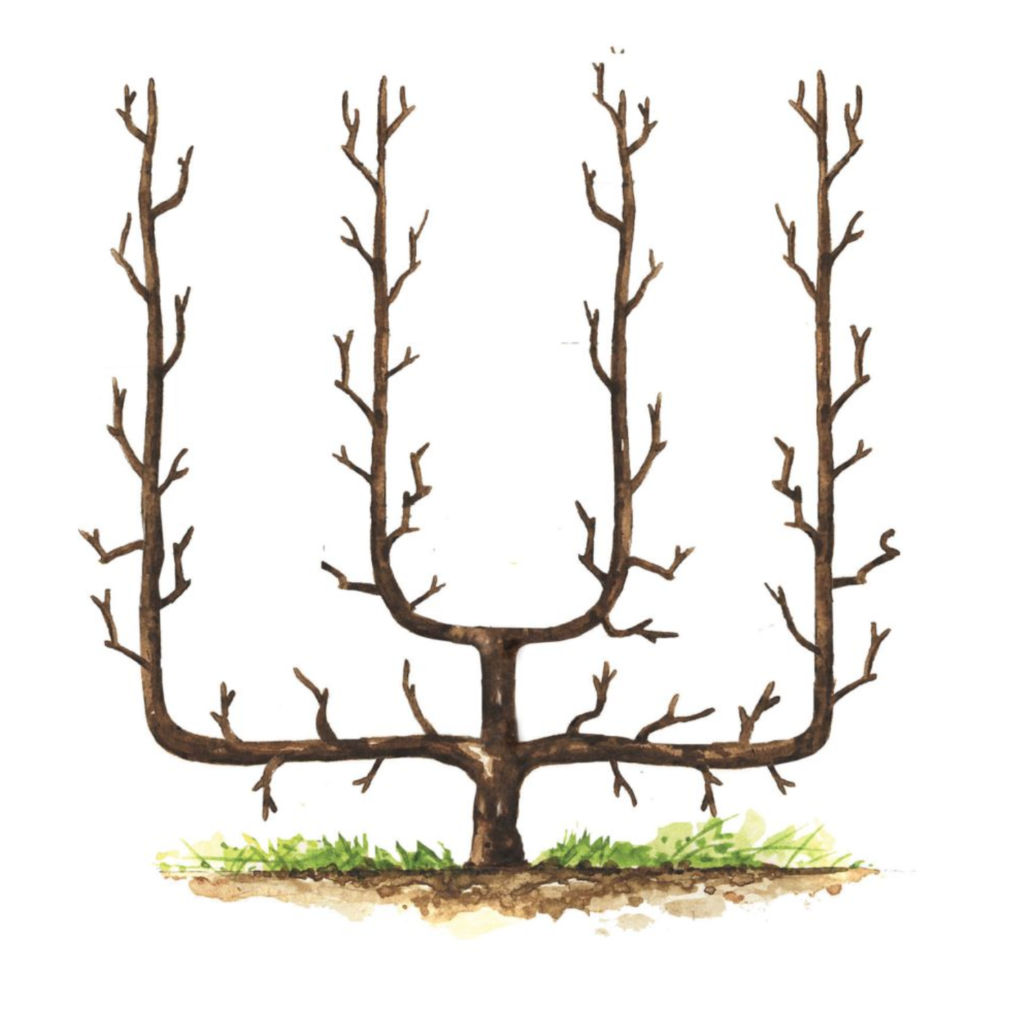 petit arbre fruitier palmette