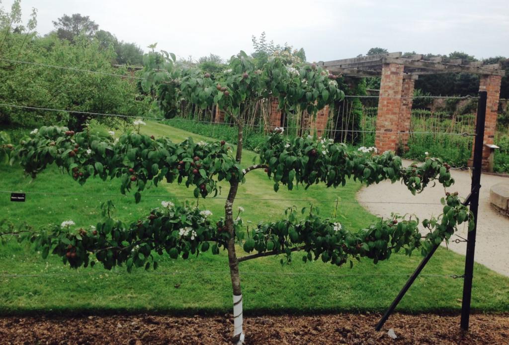 petit arbre fruitier en séparation de jardin