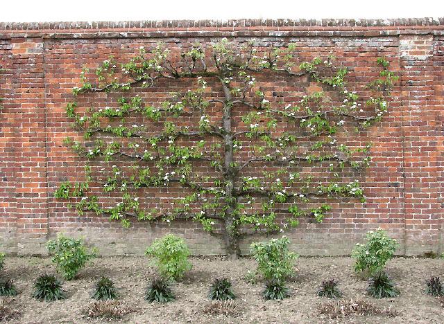 petit arbre fruitier pour petit jardin