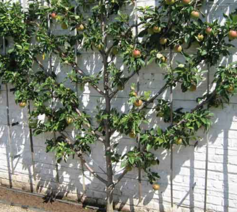petit arbre fruitier en v