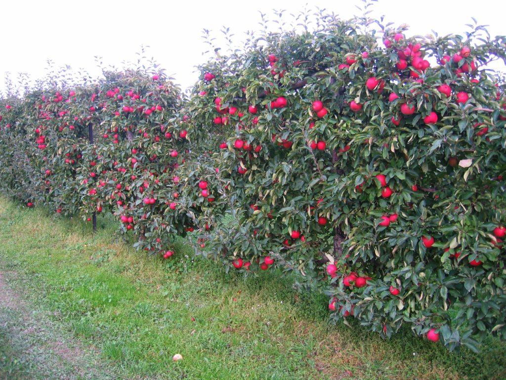 pommier pommes rouges