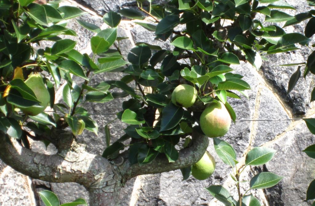 le poirier un petit arbre fruitier