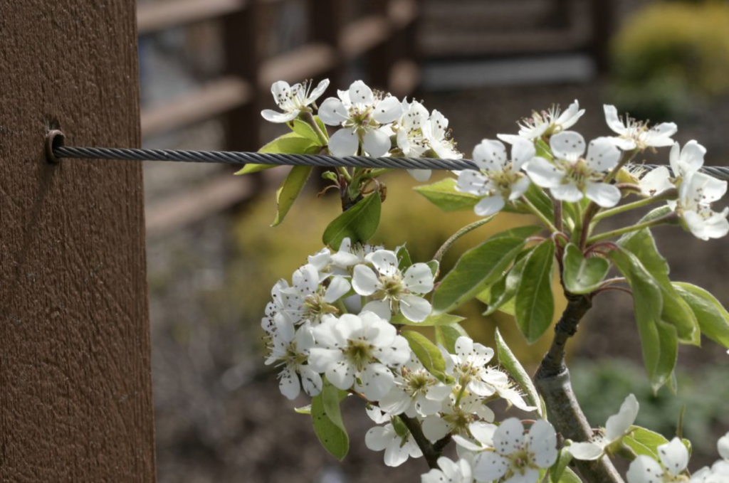 fleurs blanches d'un petit arbre fruitier