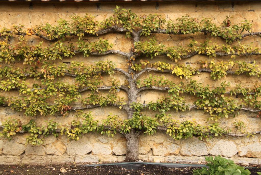 arbre fruitier en espalier pour cacher un mur