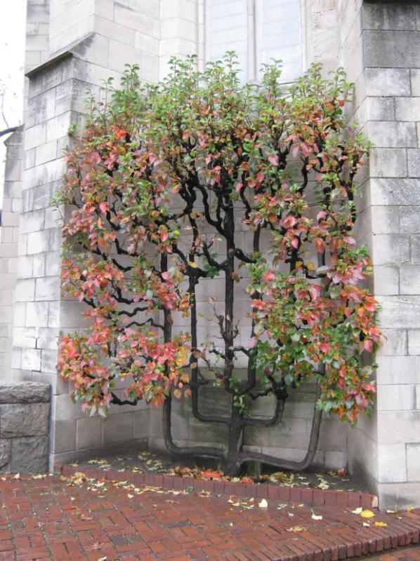 petit arbre fruitier coloré à l'automne