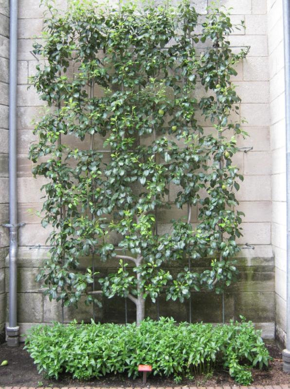 petit arbre fruitier pour jardin de curé