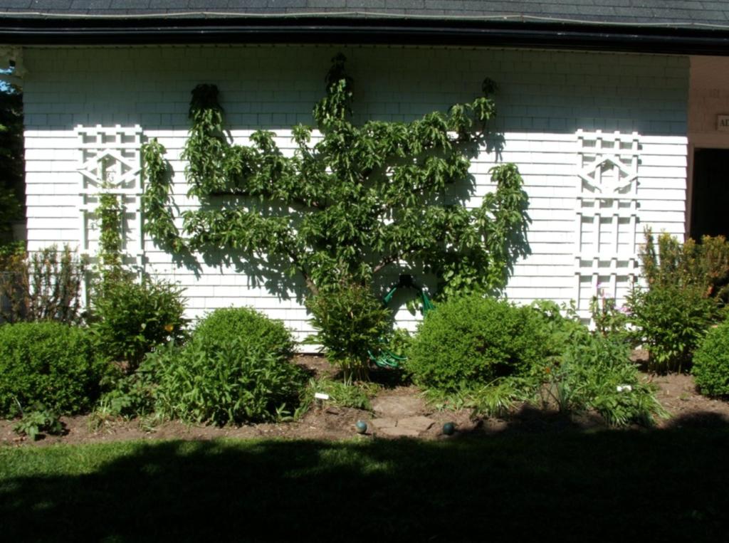 un petit arbre fruitier le long d'un pignon