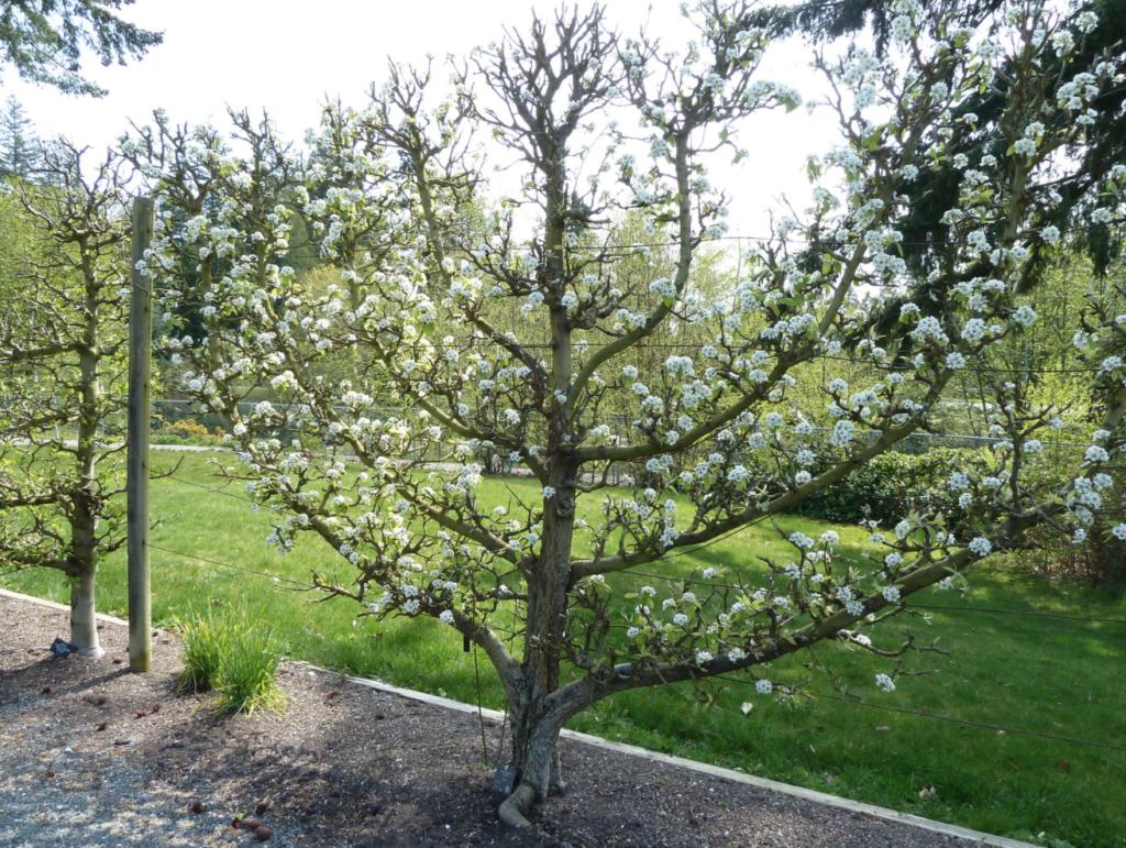 petit arbre fruitier en fleurs
