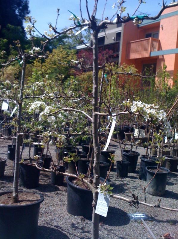 un petit arbre fruitier en pépinière