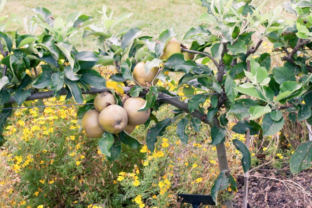 un pommier petit arbre fruitier