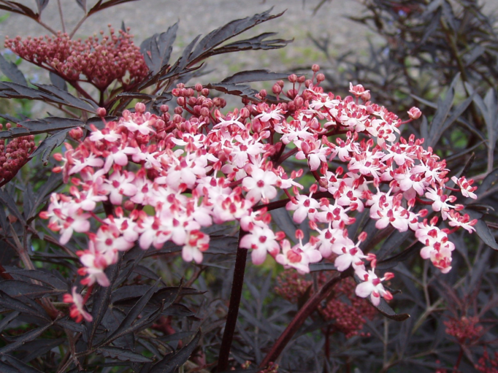 plante de haie à fleurs roses