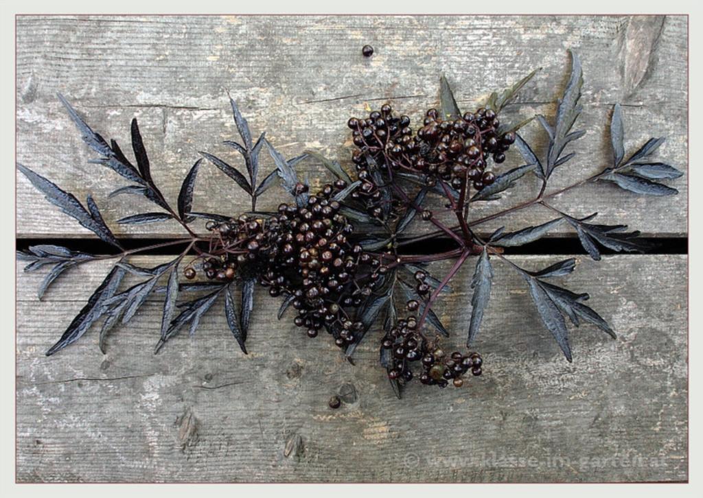 plante de haie feuillage pourpre