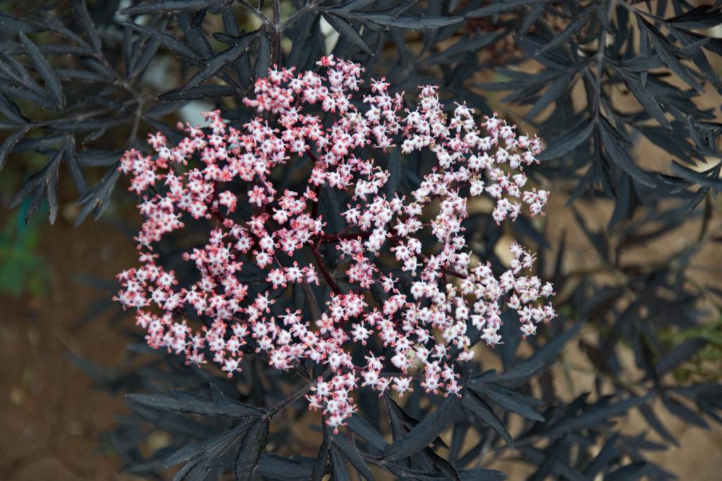 plante de haie rose